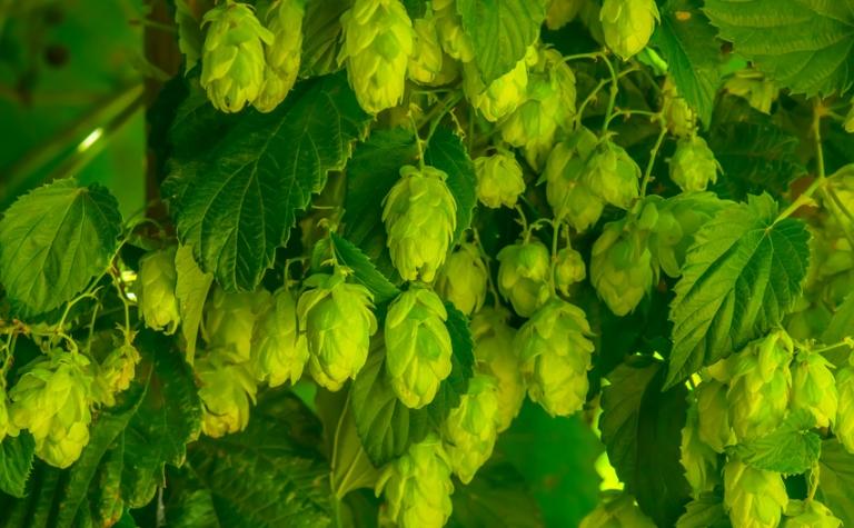 De hop – Humulus lupulus