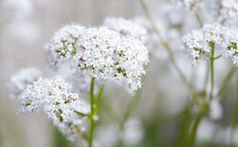 Echte valeriaan – Valeriana officinalis
