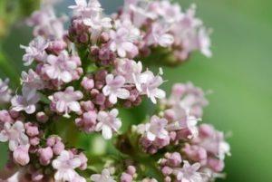 valeriaan bloemen
