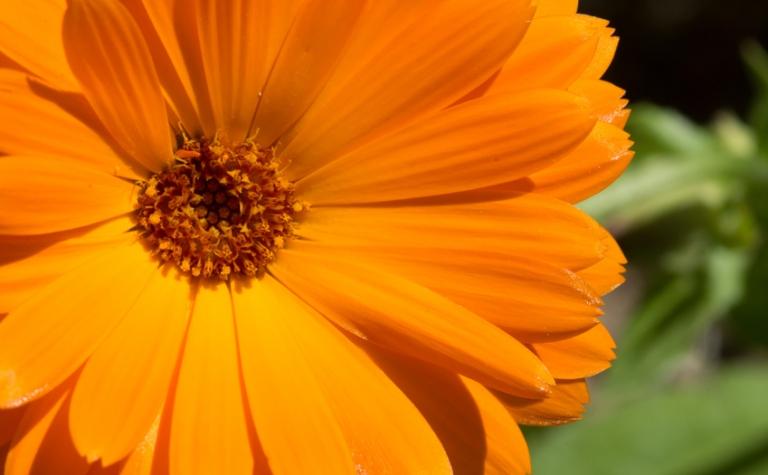 Tuingoudsbloem – Calendula officinalis
