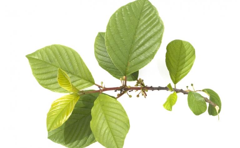 Sporkehout – Rhamnus frangula