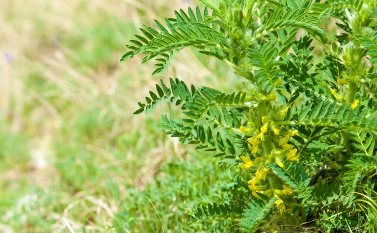 Astragalus membranaceaus – vliezige hokjespeul