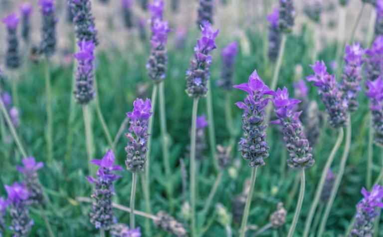 Spijklavendel – Lavandula angustifolia