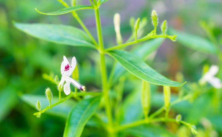 Indiase gentiaan, een kruid in opkomst