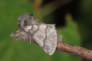 eikenprocessierups vlinder