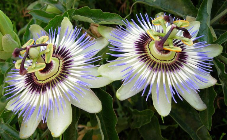 Passiebloem – Passiflora incarnata