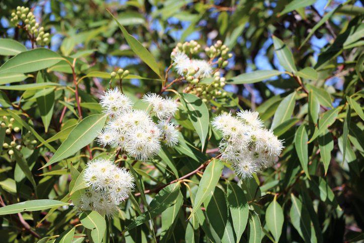 eucalyptus bloemen wit