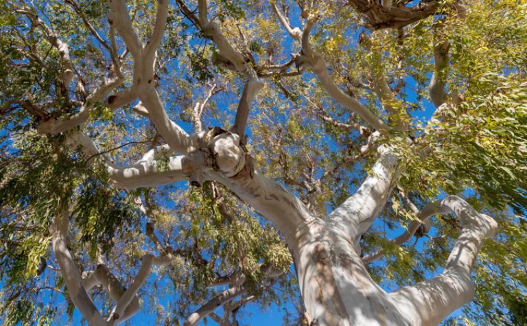 Eucalyptus globulus – Gomboom