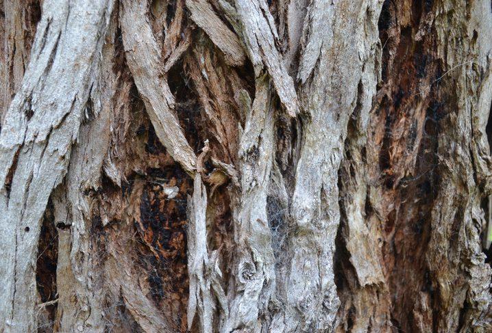 eucalyptus schors