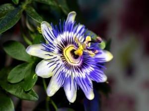Passiebloem 10 beste rustgevende kruiden