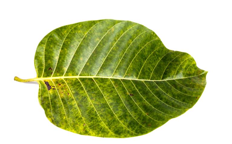 Kina of kinine – Cinchona pubescens