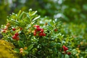 cranberry bos